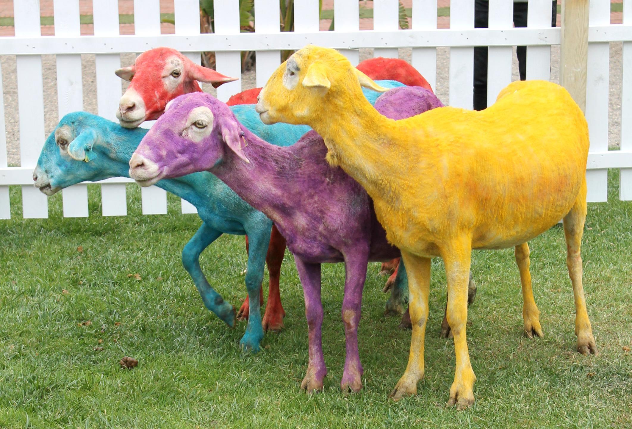 colourful-sheep-Gray-Malin