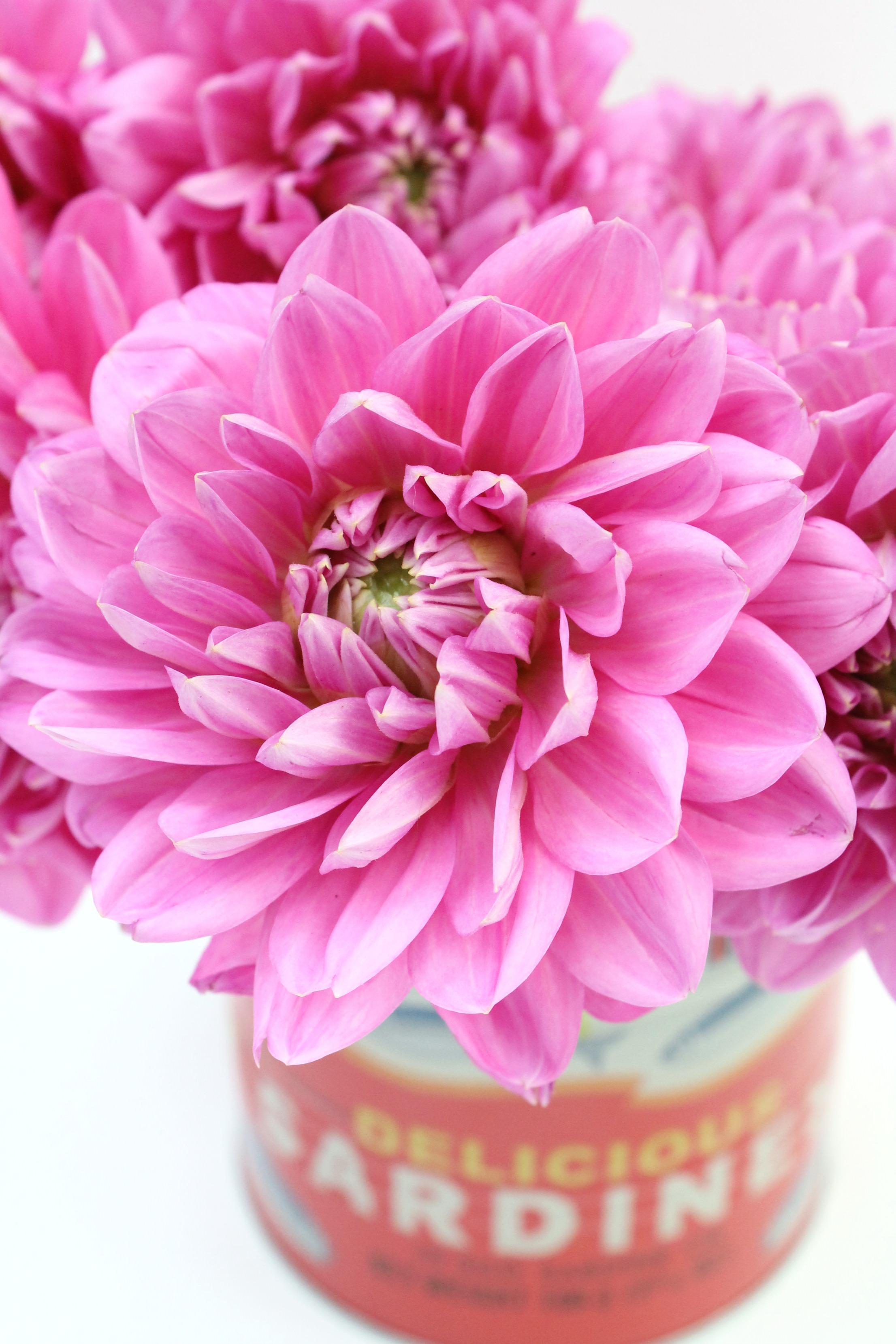 Dahlias-flower-of-the-month-Little-Big-Bell