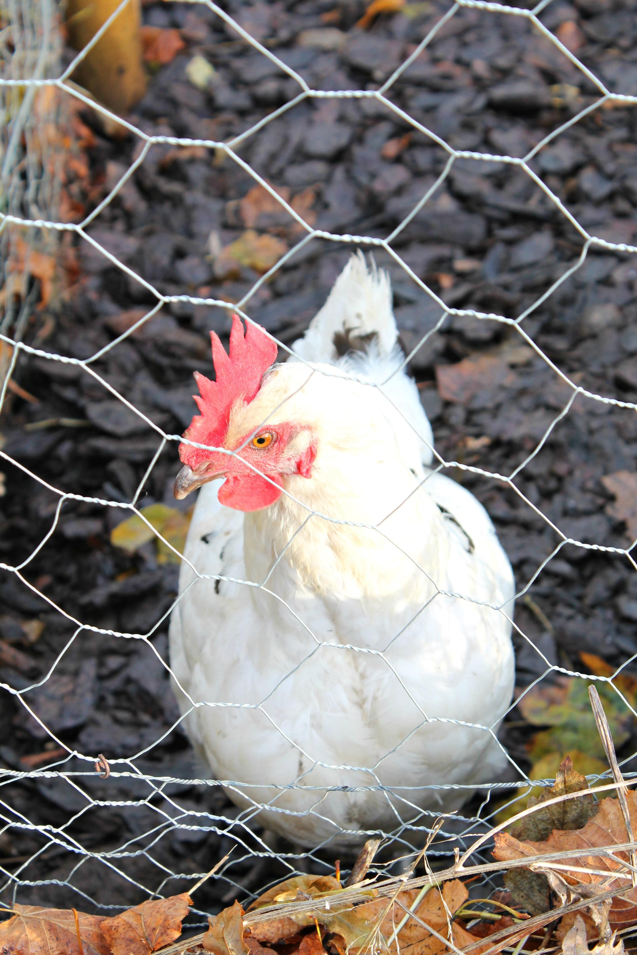 soho-farmhouse-chicken-little-big-bell